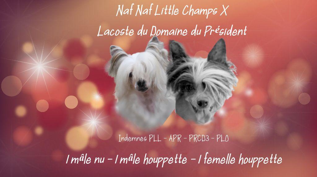 Little Champs - Chien chinois à crête - Portée née le 05/01/2021