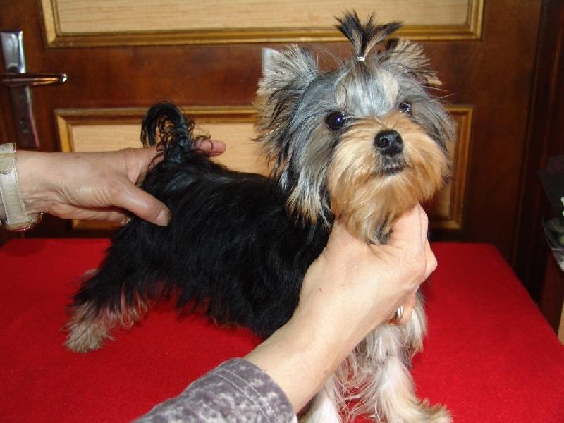 Chiot elevage du clos des bleuettes eleveur de chiens yorkshire terrier - Coupe de poils pour yorkshire ...