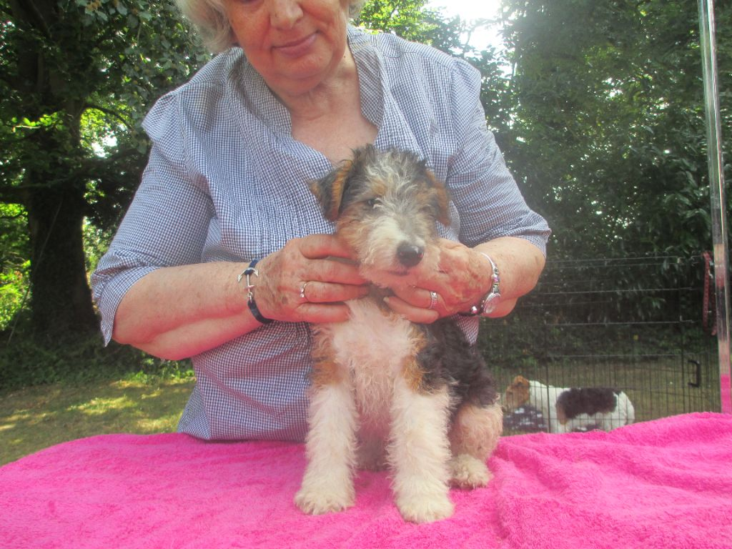 Platemare - Chiot disponible  - Fox Terrier Poil Dur