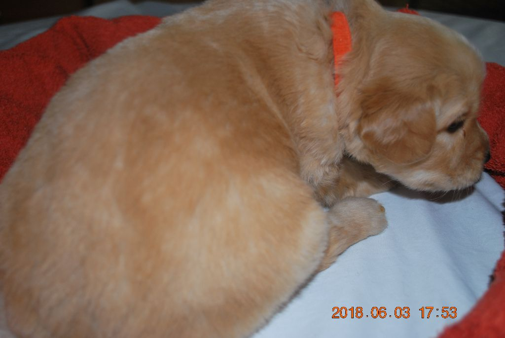 Ar Bugale An Noz - Chiot disponible  - Hovawart