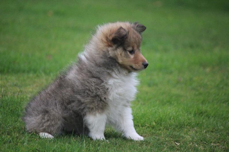De goazilec - Chiot disponible  - Shetland Sheepdog