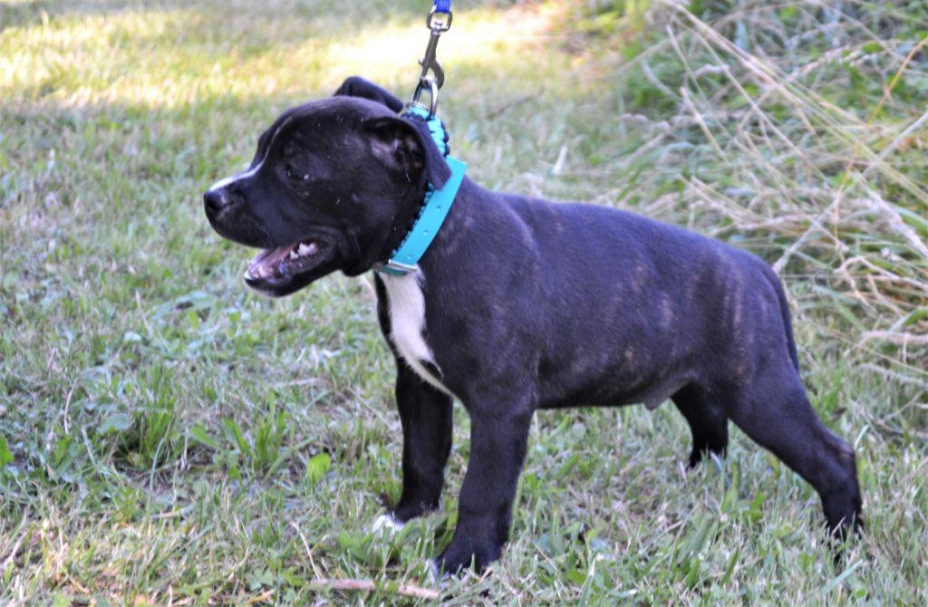 OURAGAN - Staffordshire Bull Terrier