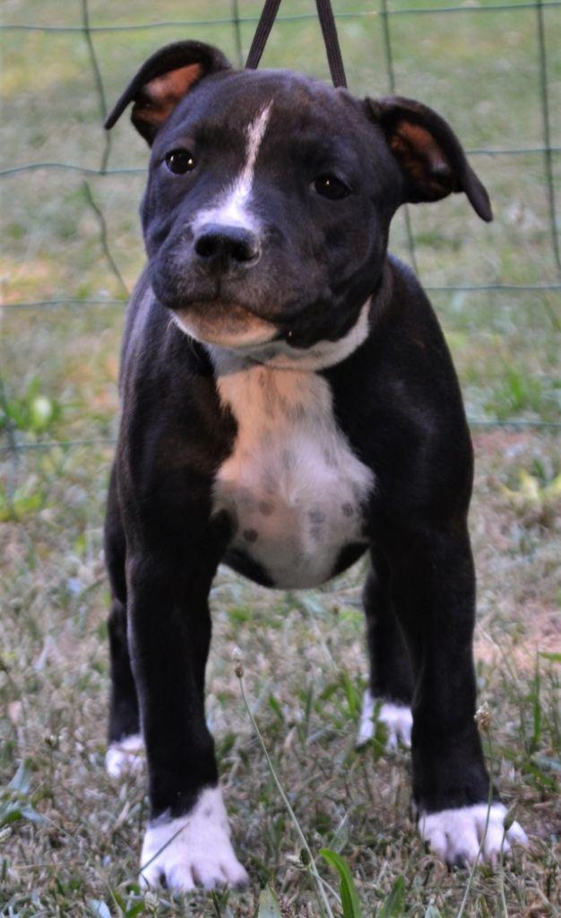 OZYRA - Staffordshire Bull Terrier