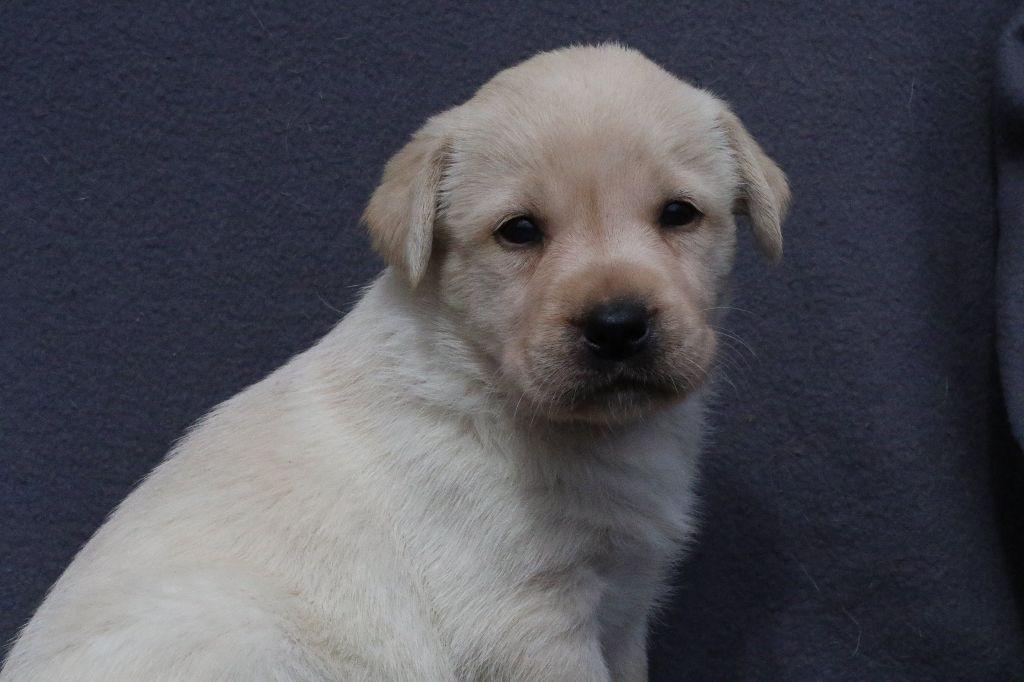 Black Soldier - Chiot disponible  - Labrador Retriever