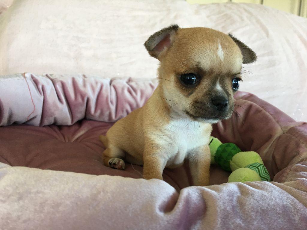 Des Etoiles De Nice - Chiot disponible  - Chihuahua
