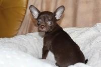 Chihuahua - Des Joyaux De La Sambre