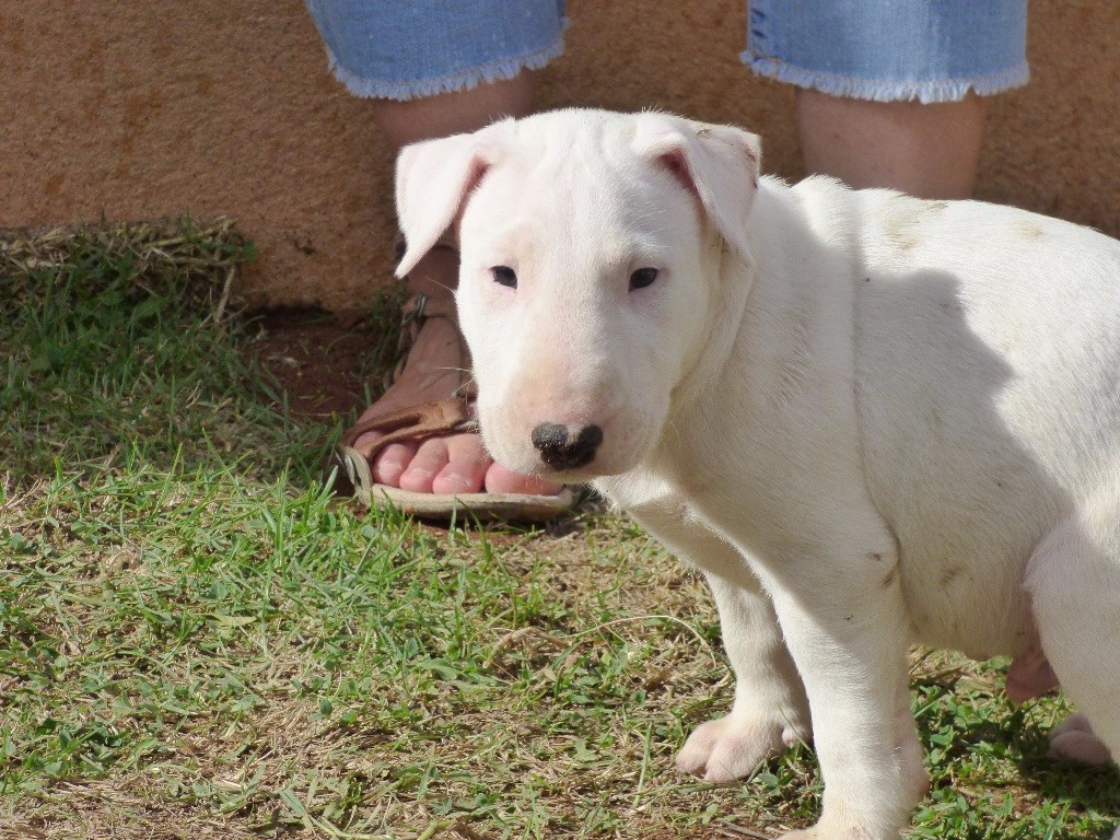 Du Mas de la Vilanòva - Chiot disponible  - Bull Terrier