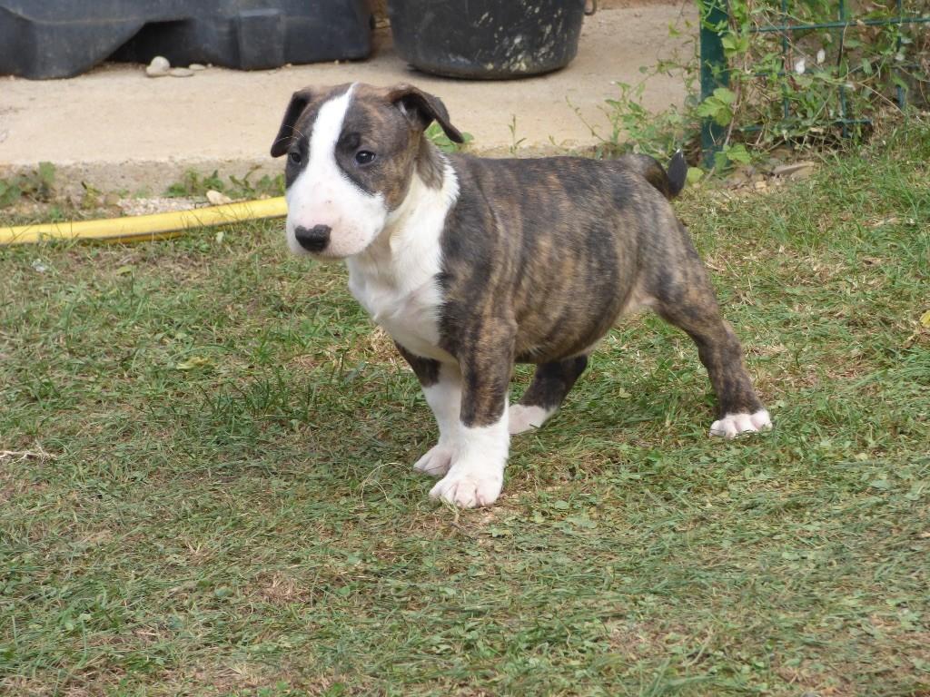 Du Mas de la Vilanòva - Chiot disponible  - Bull Terrier