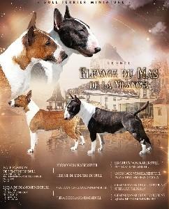 Bull Terrier Miniature - Du Mas de la Vilanòva