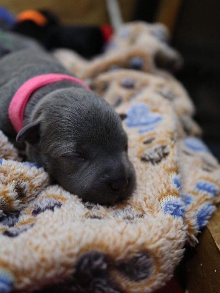 Du Domaine De Montbrieux - Chiot disponible  - Staffordshire Bull Terrier