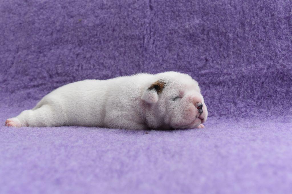 du temple d'isaora - Chiot disponible  - Bulldog continental