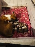 American Staffordshire Terrier - Winkut's