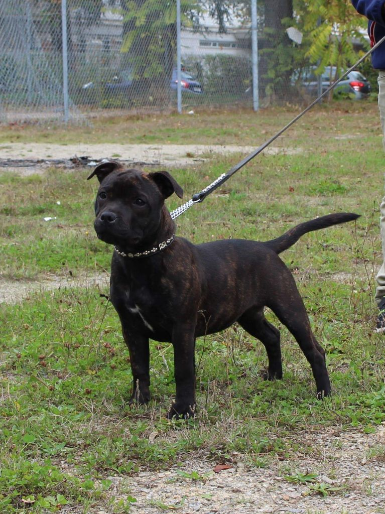Tevenn Ar Ezrah - Chiot disponible  - Staffordshire Bull Terrier