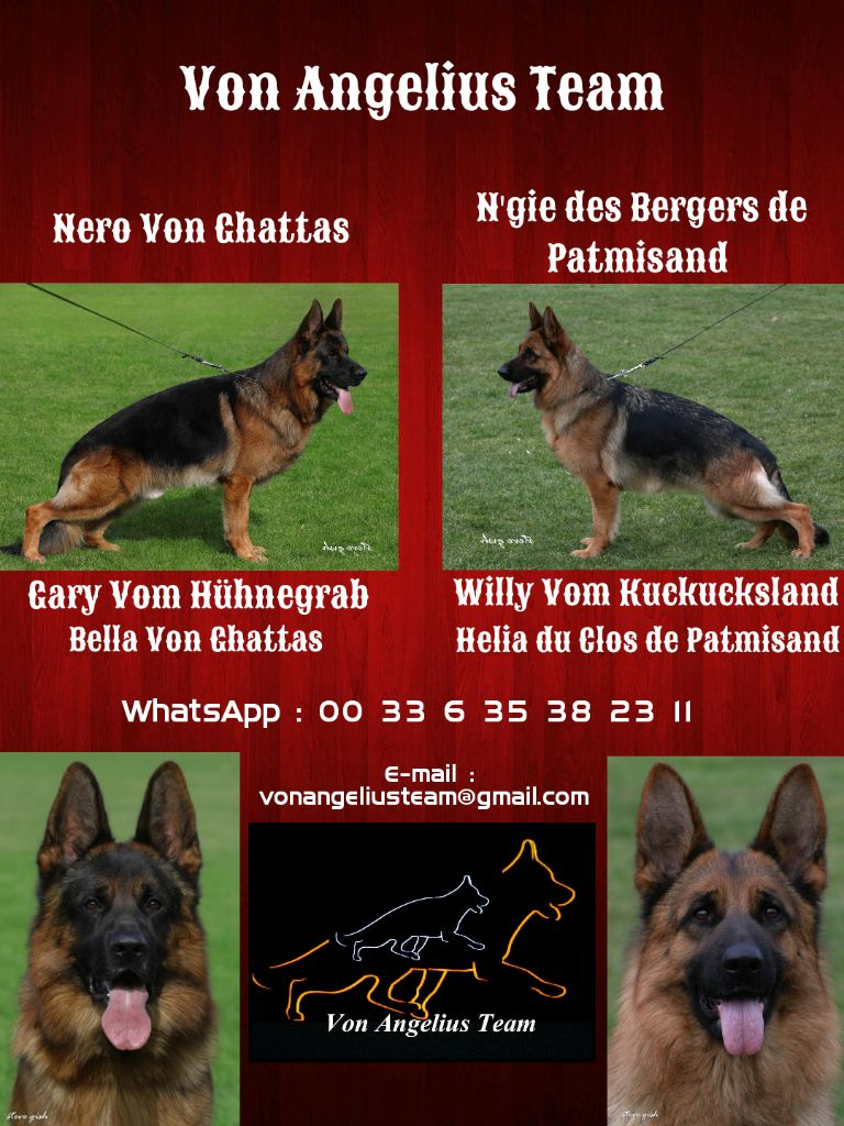 Von Angelius Team - Chiot disponible  - Berger allemand
