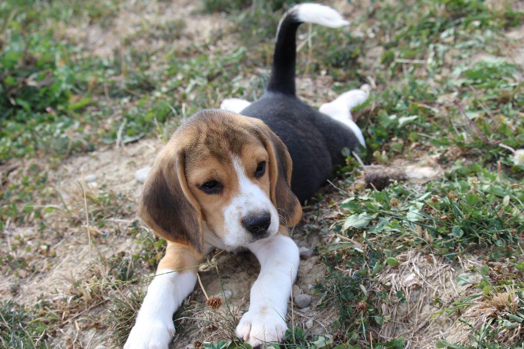 Du Pont Pyrimont - Chiot disponible  - Beagle