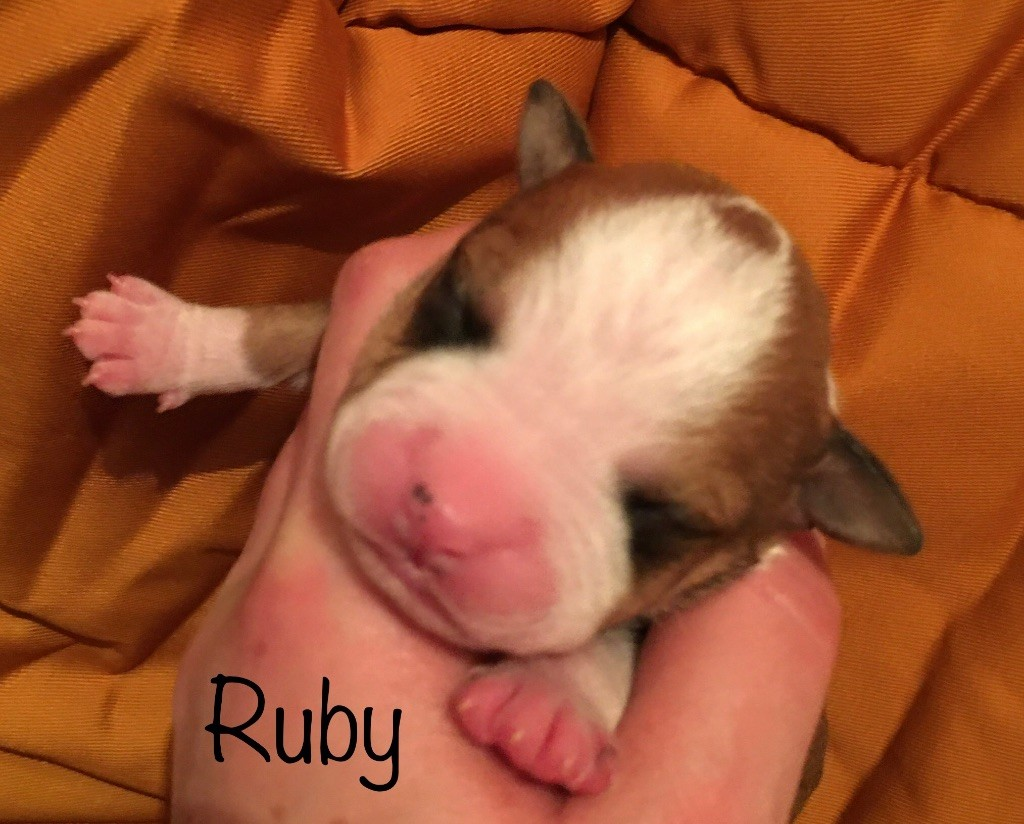 Like Royal Pearl - Chiot disponible  - American Staffordshire Terrier