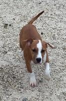 Like Royal Pearl - American Staffordshire Terrier - Portée née le 08/11/2016
