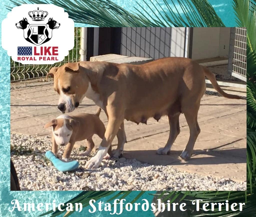 Like Royal Pearl - American Staffordshire Terrier - Portée née le 01/08/2019