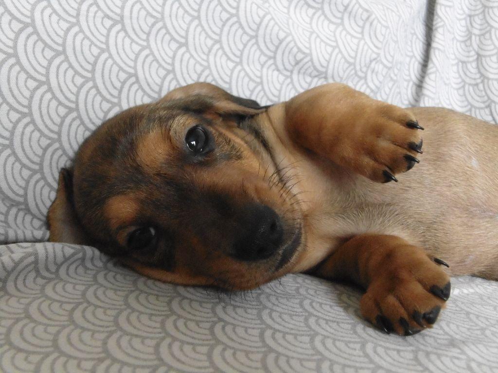 Accueil - Elevage Des Petits Aska - eleveur de chiens