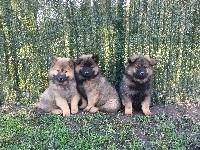 Eurasier - chiot eurasier lof - Doggylove