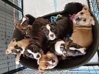 American Staffordshire Terrier - American staffordshire terrier LOF - Emblem Of Souls Js