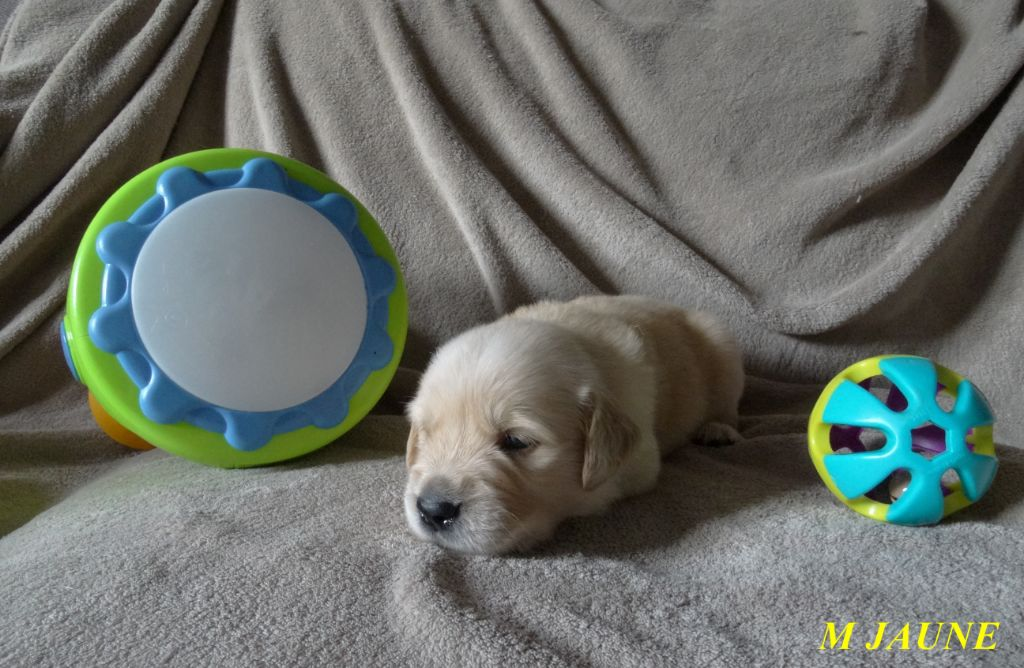 Since Always And For Eternity - Chiot disponible  - Golden Retriever