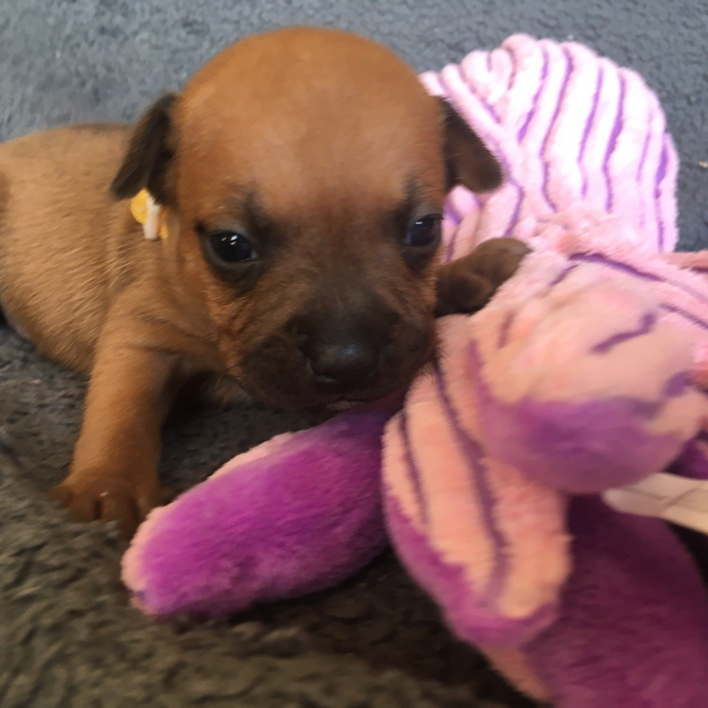 Du Clan Des Dragons Rouges - Chiot disponible  - Staffordshire Bull Terrier