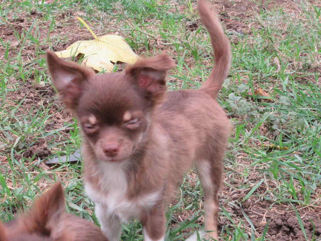 Des Iris Du Parc Royal - Chiot disponible  - Chihuahua