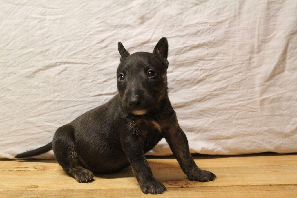 Kingston-Corbières BT Oyama Over-the-top - Bull Terrier Miniature
