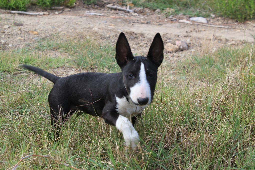 Kingston-Corbières Bt - Chiot disponible  - Bull Terrier Miniature