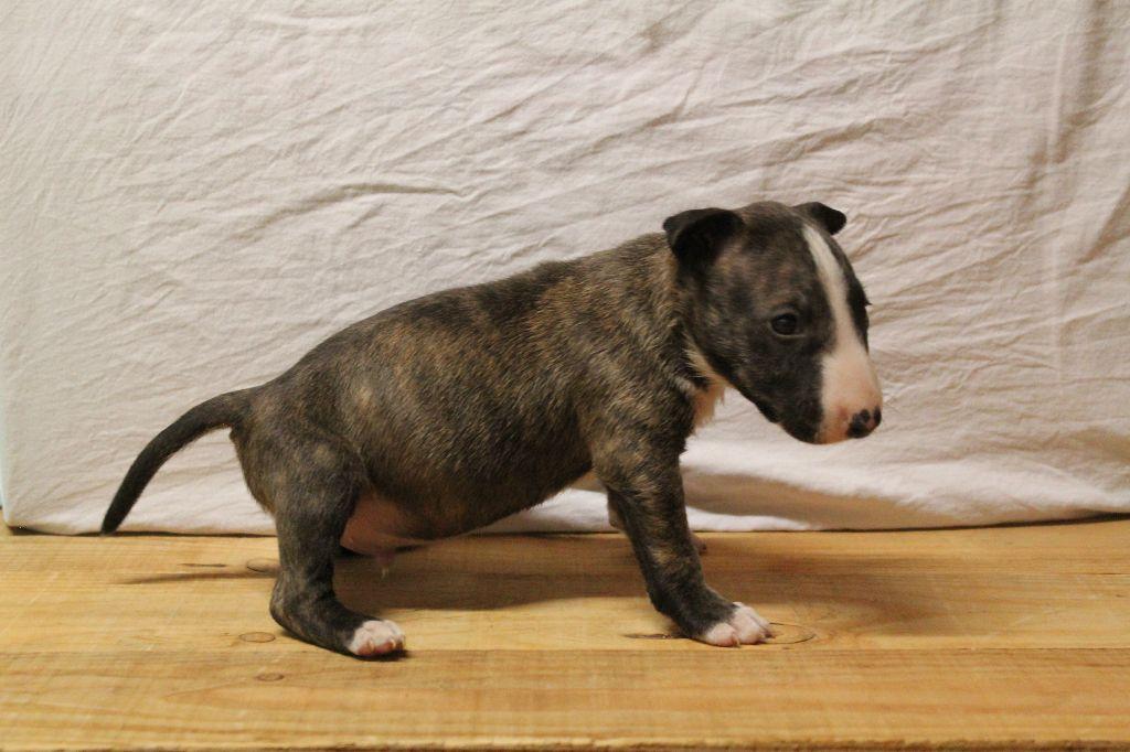 Kingston-Corbières BT Ossie Observer - Bull Terrier Miniature