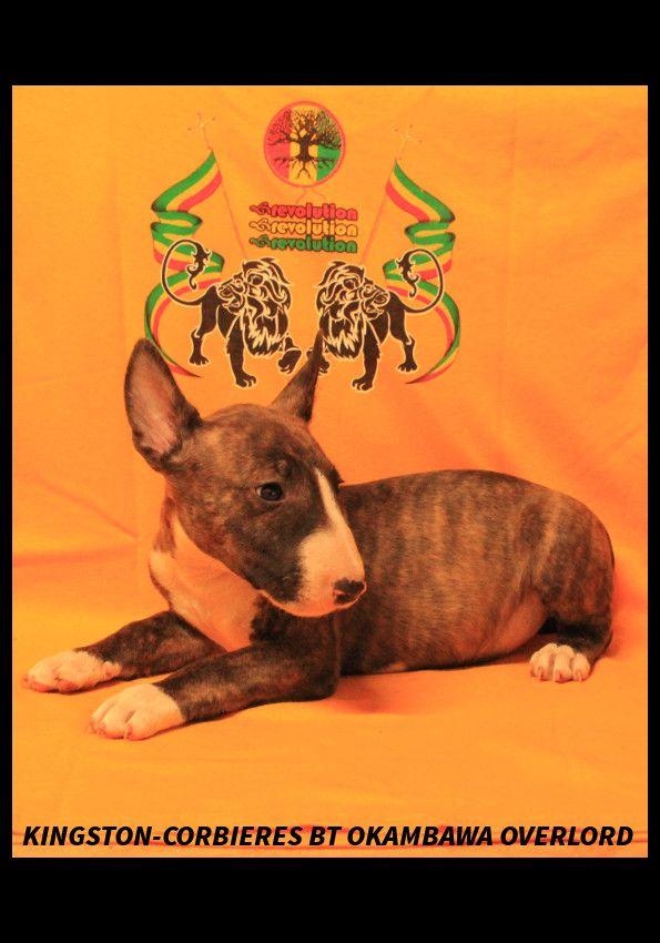 Kingston-Corbières Bt - Chiot disponible  - Bull Terrier Miniature