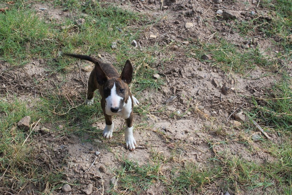 Kingston-Corbières BT Original Okimma - Bull Terrier Miniature
