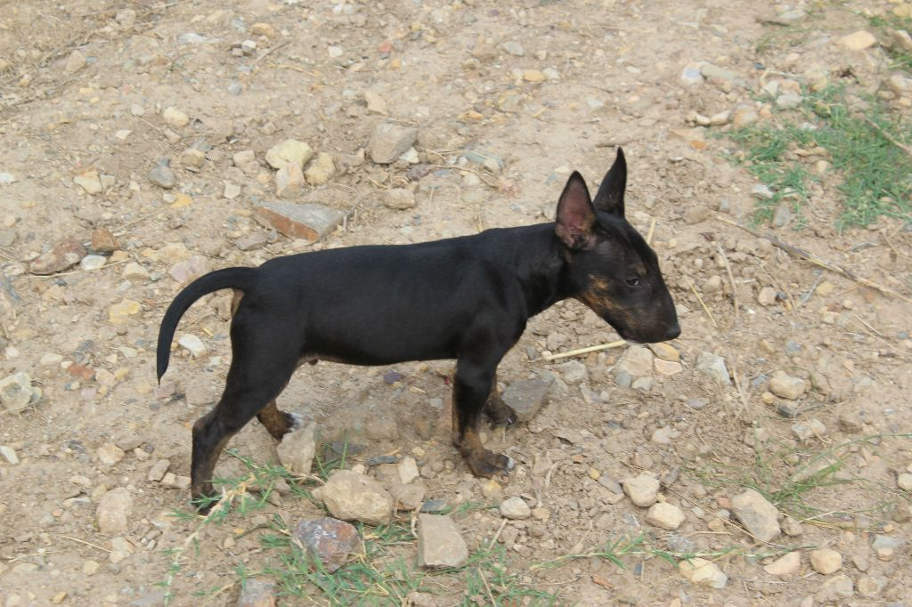 Kingston-Corbières BT Obeah Odiambo - Bull Terrier Miniature