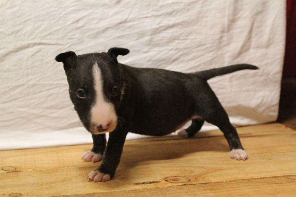 Kingston-Corbières BT Ottis Oddball - Bull Terrier Miniature