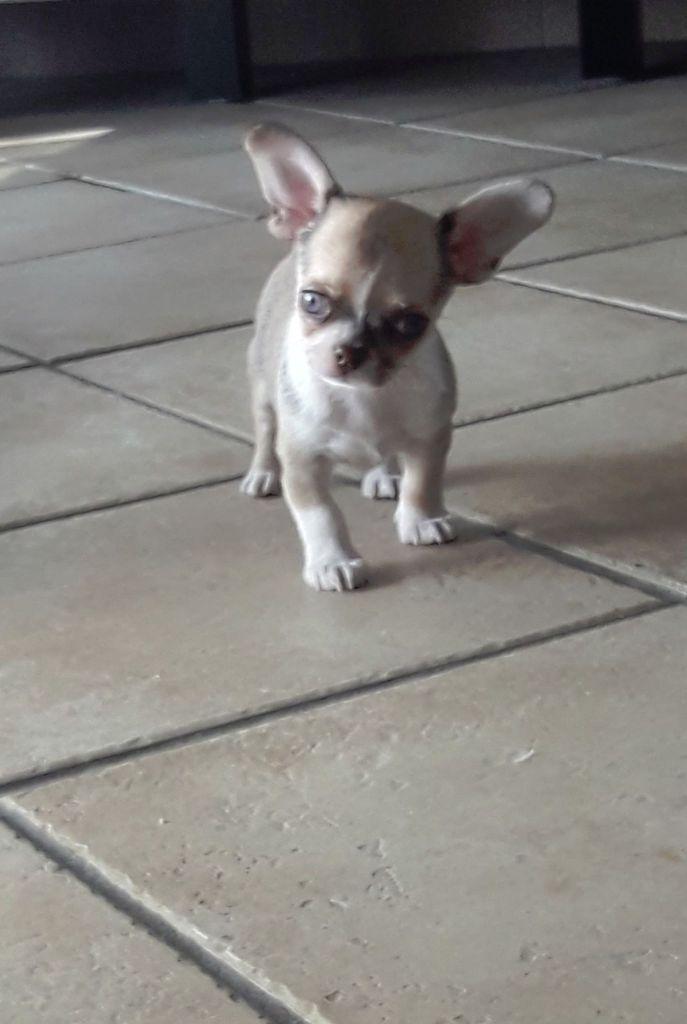 Des Ecrins De Joy - Chiot disponible  - Chihuahua