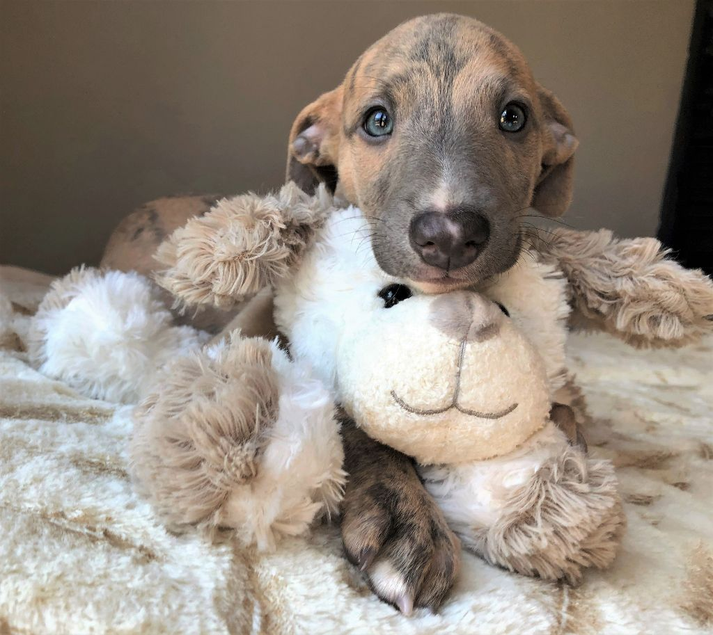 Movingstars - Chiot disponible  - Whippet
