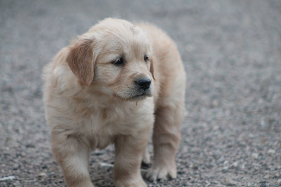 Pixel - Golden Retriever