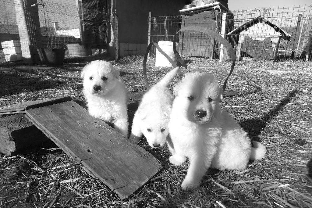 CHIOT - Berger Blanc Suisse