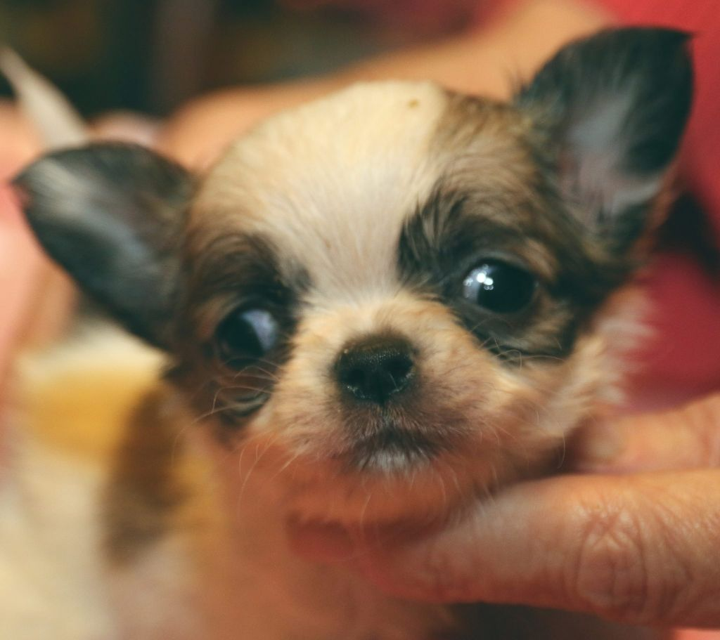 el mondo de gremlins - Chiot disponible  - Chihuahua