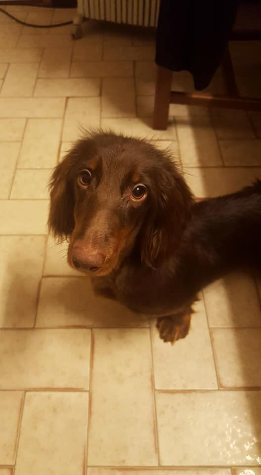 Of German Lovely Dogs - Chiot disponible  - Teckel poil long