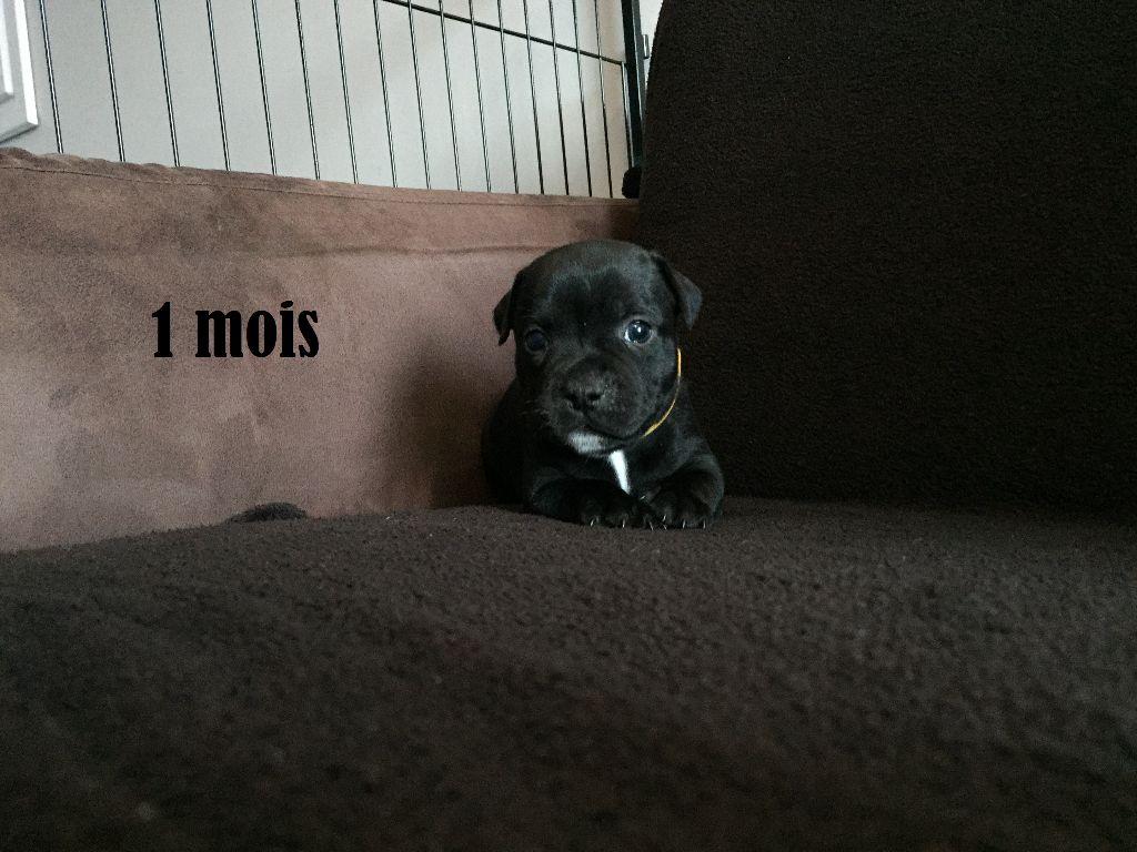 NUADA - Staffordshire Bull Terrier
