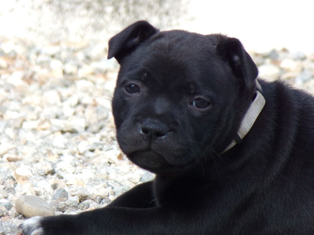 Panther Black earth - Staffordshire Bull Terrier