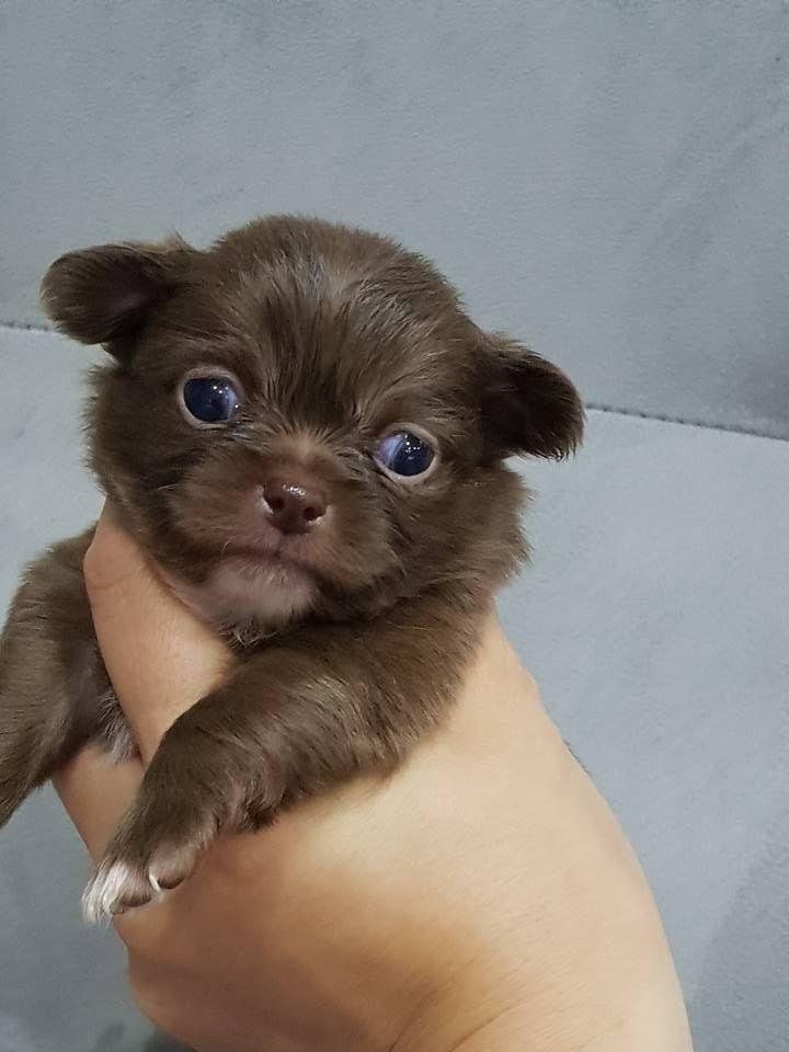 Mâle chocolat - Chihuahua