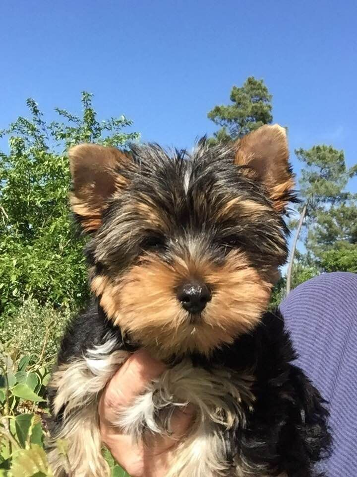 Pat'chouly - Yorkshire Terrier