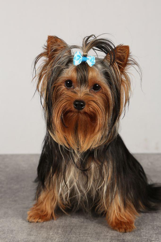 Du Paradis De L'Isle - Chiot disponible  - Yorkshire Terrier