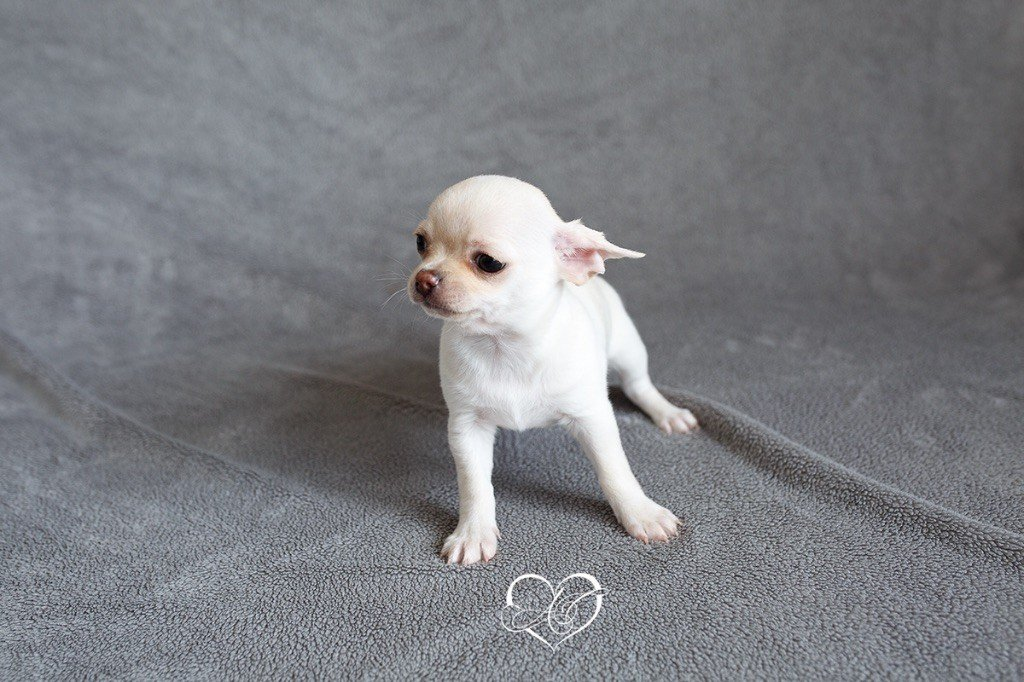 Of Aphrodite Childs - Chiot disponible  - Chihuahua