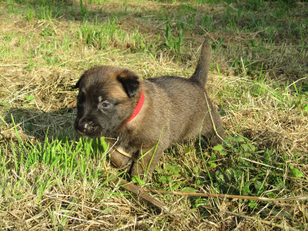 Of Jycker's Little Wolves - Chiot disponible  - Berger Belge