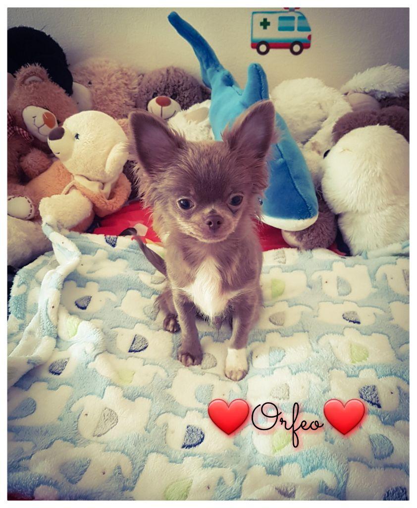 Orfeo - Chihuahua
