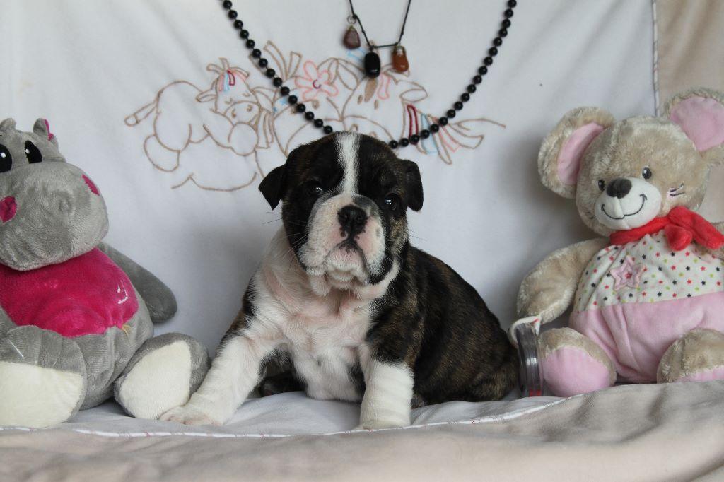 Des Hauts De Marsou - Chiot disponible  - Bulldog Anglais